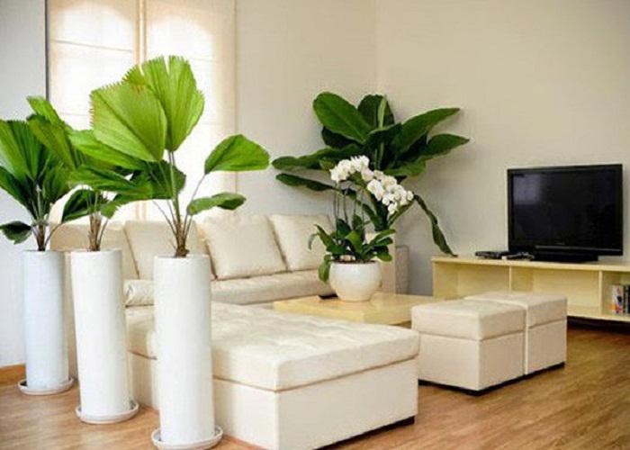 Trồng cây trong phòng khách mang lại phong thủy tốt